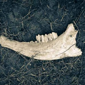 cow jaw bone on grass and dirt