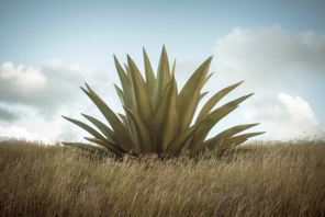 Agave or century plant in Barbados